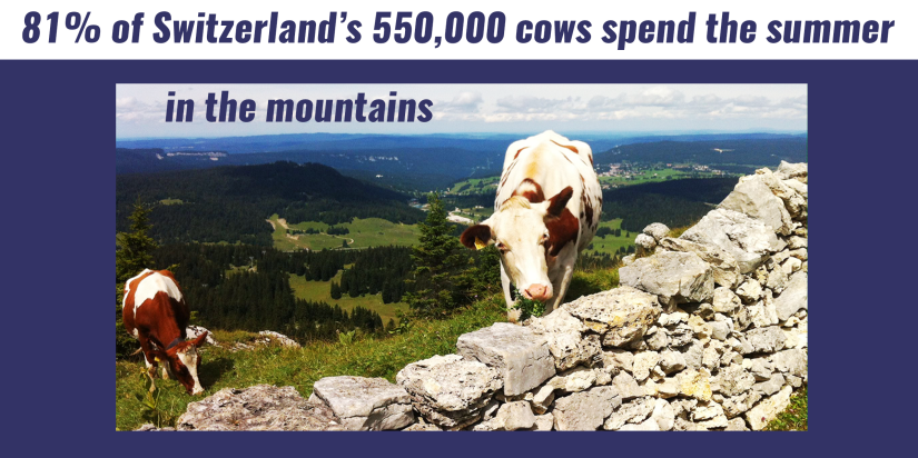 A cow atop a mountain. 81% of Switzerland's 550,000 cows spend the summer n the mountains